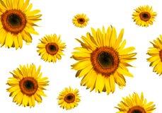 Słonecznikowy piękno fotografia royalty free