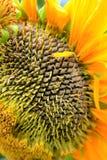 Słonecznikowy Szczegół Fotografia Royalty Free