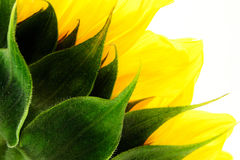 Słonecznikowy tło Zdjęcie Stock
