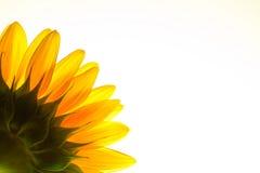 słonecznikowy tło biel Obraz Stock