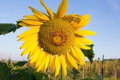 Słonecznikowy zakończenie z kopii przestrzenią Zdjęcie Royalty Free