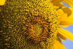 Słonecznikowy zakończenie z kopii przestrzenią Fotografia Royalty Free