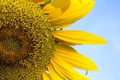 Słonecznikowy zakończenie z kopii przestrzenią Obraz Stock