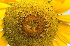 Słonecznikowy zakończenie z kopii przestrzenią Fotografia Stock