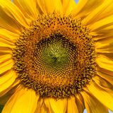 Słonecznikowy zbliżenie Zdjęcie Royalty Free