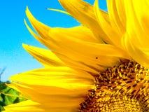 Słonecznikowy zbliżenie Zdjęcie Stock