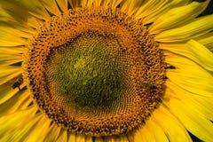 Słonecznikowy zbliżenie z pszczołami Obrazy Royalty Free