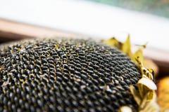 Słonecznikowych ziaren dojrzały zbliżenie obrazy royalty free