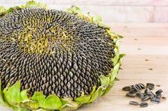 Słonecznikowych ziaren roślina w miejscowym Tajlandia Obrazy Royalty Free