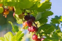 Słoneczny dzień jagoda agresty na gałąź Zdjęcie Royalty Free