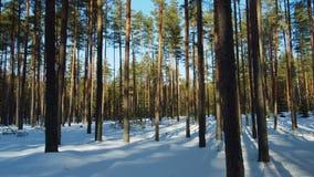 Słoneczny dzień w zima lesie zbiory