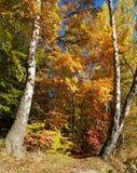 Słoneczny jesień krajobraz z dwa brzozami fotografia stock