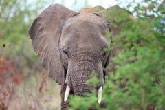 słoni drzewa zdjęcie royalty free