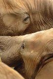 Słoni Mocować się Fotografia Royalty Free
