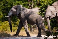 Słoni słonie w Moremi GR - Botswana Fotografia Stock