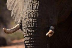 Słoni zmarszczenia i kły zdjęcie stock