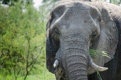 Słonia łasowanie Zdjęcie Stock