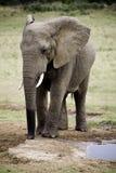 Słonia życia styl w Południowa Afryka Fotografia Royalty Free
