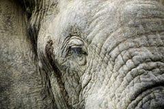 Słonia życia styl w Południowa Afryka Fotografia Stock