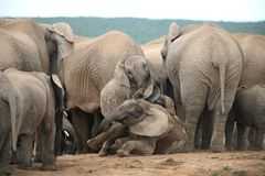 Słonia życia styl w Południowa Afryka Obraz Royalty Free