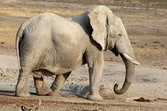 Słonia afrykański Odprowadzenie Obraz Stock