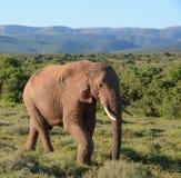 Słonia afrykański Odprowadzenie Obrazy Royalty Free