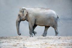 Słonia afrykanina zwierzę Zdjęcia Royalty Free