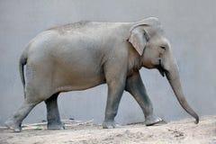 Słonia afrykanina zwierzę Zdjęcie Stock