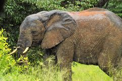 słonia ampuły samiec Obraz Royalty Free