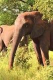 słonia ampuły samiec Zdjęcie Stock