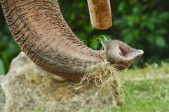 Słonia bagażnik Fotografia Stock