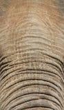 Słonia bagażnik i czoło zdjęcie royalty free
