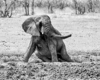 Słonia Borowinowy skąpanie Obraz Stock