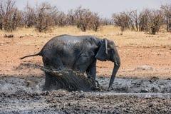 Słonia Borowinowy skąpanie obrazy stock