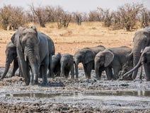 Słonia Borowinowy skąpanie zdjęcia royalty free