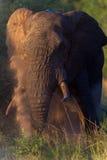 Słonia Byka Męski Okurzanie Obraz Stock
