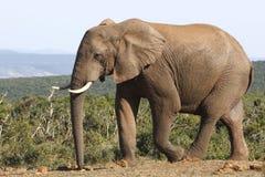Słonia byka up zakończenie fotografia royalty free