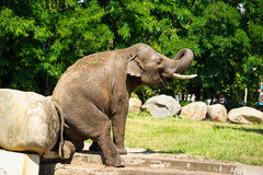 Słonia chełbotanie z wodą Obraz Stock
