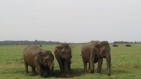 3 słonia cieszy się borowinowego skąpanie wpólnie obrazy royalty free