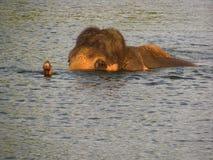 Słonia dopłynięcie w rzece Zdjęcia Royalty Free