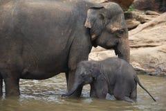 Słonia dziecko i słoń matka, Pinnawala, Sri Lanka Obraz Royalty Free