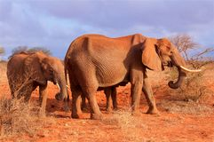 Słonia dziecko z matką w Afryka Tsavo parku narodowym Fotografia Stock