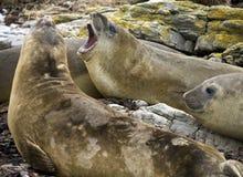 słonia Falklands foka Obrazy Royalty Free
