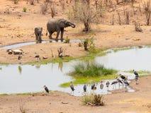 Słonia i marabuta bociany fotografujący w dzikim blisko Wiktoria Spadają w Zimbabwe Obrazy Stock