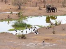 Słonia i marabuta bociany fotografujący w dzikim blisko Wiktoria Spadają w Zimbabwe Fotografia Stock