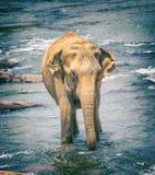 Słonia kąpanie w rzece Zdjęcia Stock