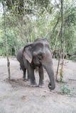 Słonia karmienie w dżungli fotografia stock