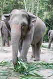 Słonia karmienie w dżungli obrazy royalty free