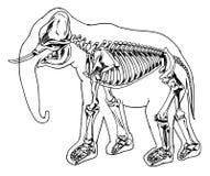 Słonia kościec Fotografia Royalty Free