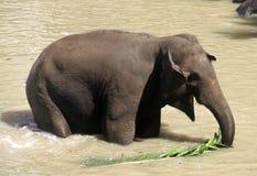 słonia lanka sri Obraz Stock
